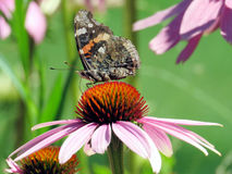Toronto Lake Red Admiral Butterfly on a flower 2016 Stock Photos