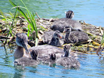 Toronto Lake the red-necked grebe and chicks 2016 Stock Images