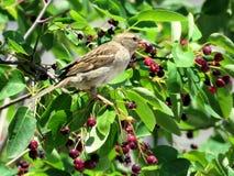 Toronto Lake sparrow consuming berries 2016 Royalty Free Stock Photos