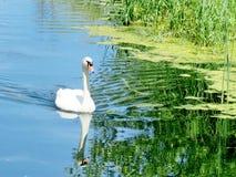 Toronto Lake swan floating 2016 Stock Images
