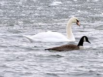 Toronto Lake swan and goose 2016 Royalty Free Stock Photo