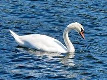 Toronto Lake Swan 2016 (2) Royalty Free Stock Photography
