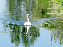 Toronto Lake swan 2016 Royalty Free Stock Photos