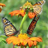 Toronto Lake three Monarch butterflies and red daisies 2017