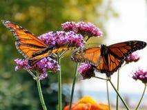 Toronto Lake two Monarch butterflies on purple flowers 2017 Stock Photography