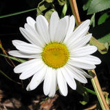 Toronto Lake white daisy flower July 2016. White daisy flower in Humber Bay Park on bank of the Lake Ontario in Toronto, Canada, July 4, 2016 Royalty Free Stock Images