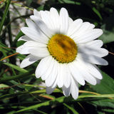 Toronto Lake the white daisy flower July 2016. The white daisy flower in Humber Bay Park on bank of the Lake Ontario in Toronto, Canada, July 4, 2016 Stock Image