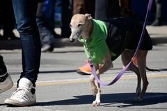 Toronto's annual St. Patrick's Day parade. TORONTO - MARCH 17: Dog wears green costume. Toronto's annual St. Patrick's Day parade takes place under sunny Royalty Free Stock Images
