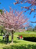 People enjoy the spring cherry blossoms at Toronto`s, High Park stock images