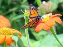 Toronto See-Monarch und Heuschrecke 2016 Stockbild
