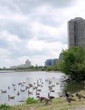 Toronto Seegänse im Juni 2009 Stockfotos