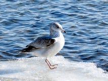 Toronto sjö fiskmåsen 2017 royaltyfria bilder