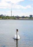 Toronto sjö som svävar den vita svanen 2008 Arkivbilder