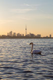 Toronto Skyline at Sunrise and a Swan Royalty Free Stock Photo