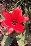 Toronto tulipan zdjęcie royalty free