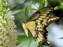 Toronto wysokości park Wschodni Tygrysi Swallowtail na białym kwiacie 20 Fotografia Stock