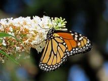 Toronto wysokości parka monarcha na białym kwiacie 2017 Obrazy Stock