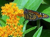 Toronto wysokości park Monarchiczny motyl 2017 Obrazy Stock