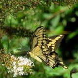 Toronto wysokości park Wschodni Tygrysi Swallowtail motyl 2017 Zdjęcie Stock