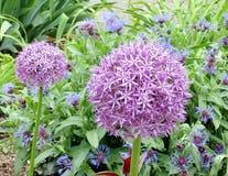 Toronto wysokości parka agapant 2009 i Cornflowers Obraz Royalty Free
