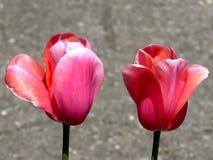 Toronto wysokości parka dwa tulipany 2016 Zdjęcia Royalty Free