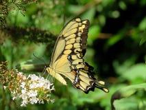 Toronto wysokości parka Swallowtail Wschodni Tygrysi motyl 2017 Fotografia Stock
