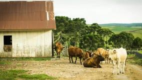 Toros, becerros y vacas en el camino Imagenes de archivo