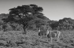Toros del antílope Foto de archivo libre de regalías