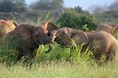 Toros del elefante Foto de archivo