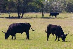 Toros en Camargue foto de archivo libre de regalías