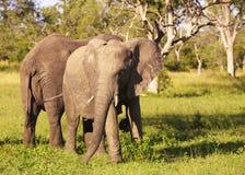 Toros grandes del elefante Fotografía de archivo