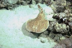 Torpedo ray Royalty Free Stock Images