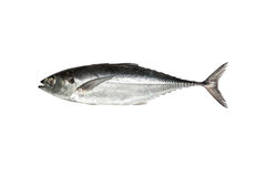 Torpedo scad (Finny scad, Finletted mackerel scad)  isolated on Stock Photos