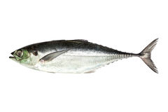 Torpedo scad (Finny scad, Finletted mackerel scad)  isolated on Stock Photography