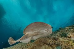Torpedo sinuspersici On the seabed in the Red Sea. Israel stock photography