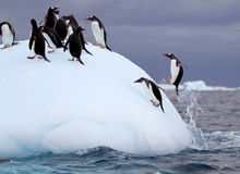 Torpedoing Gentoo Penguin Royalty Free Stock Photos