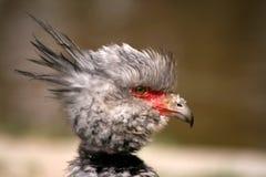 Torquata con cresta del Chauna del pájaro fotografía de archivo