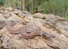 torquata texas змейки ночи jani hypsiglena Стоковые Фото