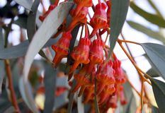 Torquata van de knoppeneucalyptus Royalty-vrije Stock Foto's