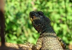 Torquatus de Lava Lizard Tropidurus das Amazonas que procura o Environm foto de stock