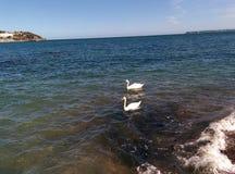 Torquay coastline swans Stock Image