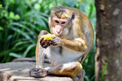 Torque Monkey Royalty Free Stock Image