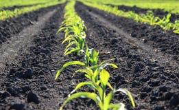 Torrões da terra entre linhas de germes de trigo verdes do inverno Fotos de Stock Royalty Free