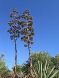 Torr agavestjälk och flowerheads Arkivfoto
