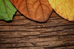 Torr bakgrund för fjärilsträdblad Royaltyfri Foto