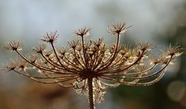 Torr blomma Arkivbild