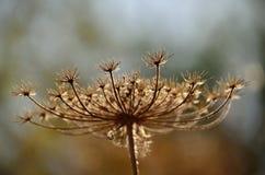 Torr blomma Royaltyfri Fotografi