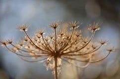 Torr blomma Fotografering för Bildbyråer