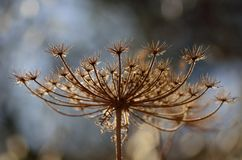 Torr blomma Royaltyfria Bilder