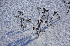 torr burdock Det torkade-upp taggiga gräset på snö royaltyfria bilder